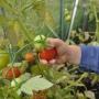Growing & harvesting vegetables