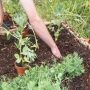 Planting broad beans