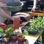 Potting up young veg plants