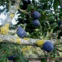 Hedgerow slow berries & lichen