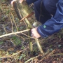 Laying hazel to encourage new root growth point i_