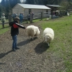 Feeding the very friendly farm sheep
