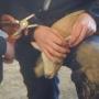 Tagging lamb ear