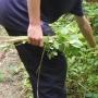 Picking himalayan balsam ii