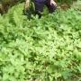 Picking himalayan balsam iii