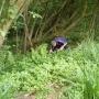 Picking himalayan balsam iv