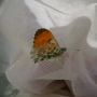 Orange tip butterfly caught in sweepnet