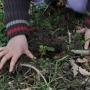 Planting seed grown wild Foxgloves