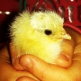 Welcome chick no 2