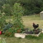 Chickens and raised bed