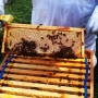 Active-bees-in-frames_2