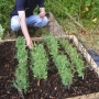 Planting hazel trainers for sweet peas