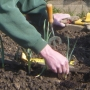 planting up spring onions