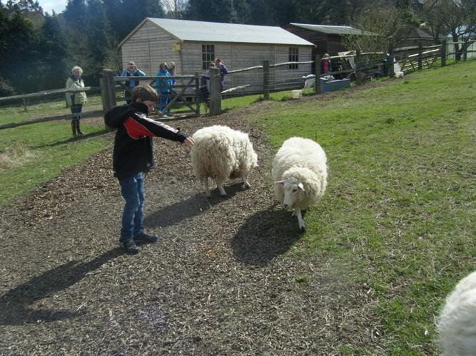 Feeding the very friendly farm sheep