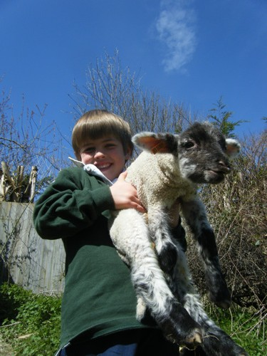 Holding newborn lambs