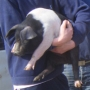 Holding-learning about piglets.