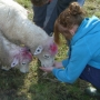 Hand feeding sheep