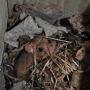 Dormouse in participant made nestbox ii