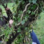 Removing the invasive ivy