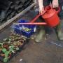 Watering saplings