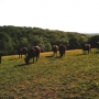 Conservation grazing with Dexter cattle